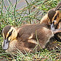 Mallard Ducklings And Mom by Peggy Collins