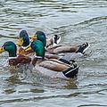 Mallard Ducks In Vee Formation by Jo Roderick