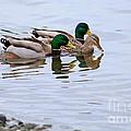 Mallard Ducks by Louise Heusinkveld