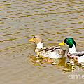 Mallard Ducks Pair by Image World