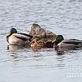Mallard Ducks Sleeping by Lori Tordsen