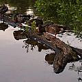Mallard Ducks Sleeping On A Log by Chris Flees