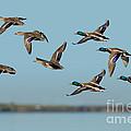 Mallard Flock Flying by Anthony Mercieca