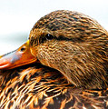 Mallard Hen Close Up by Steve McKinzie