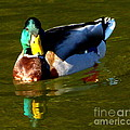 Mallard Male Duck by Susan Garren
