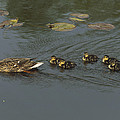 Mallard Mother With Ducklings by Konrad Wothe