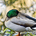 Mallard Napping by Kate Brown
