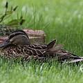 Mallard Nesting by Shari Bailey