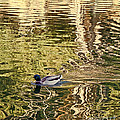 Mallard Painting by Kate Brown