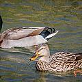Mallard Pair by Jane Luxton