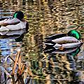 Mallards In The Reeds by Susie Peek