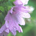 Mallow After the Rain