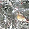Mama Cardinal by Peggy  McDonald