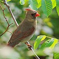 Mama Cardinal by Frozen in Time Fine Art Photography