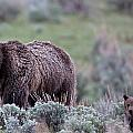 Mama Grizzly Guiding Cub by Natural Focal Point Photography