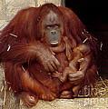 Mama N Baby Orangutan - 54 by Gary Gingrich Galleries
