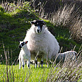 Mama Sheep And Her Two Lambs by Bill Cannon