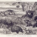 Mammals Of Tasmania by Natural History Museum, London/science Photo Library