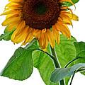 Mammoth Sunflower by Carol F Austin