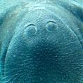 Manatee Up Close by Larry Allan