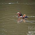 Mandarin Duck 20130507_45 by Tina Hopkins