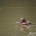 Mandarin Duck 20130507_47 by Tina Hopkins