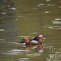 Mandarin Duck 20130507_99  by Tina Hopkins