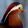 Mandarin Duck by Bob and Jan Shriner