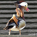 Mandarin Duck by Donna Brown