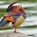 Mandarin Duck Posing by Bill Dodsworth