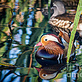 Mandarin Duck Reflections by Silken Photography