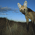 Maned Wolf Hunting At Dusk Brazil by Tui De Roy