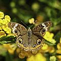 Mangrove Buckeye Butterfly by Donald Brown