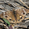 Mangrove Buckeye  by Doris Potter