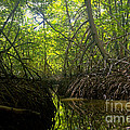 mangrove forest in Costa Rica 1 by Rudi Prott
