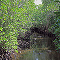 Mangrove Forest by Tony Murtagh