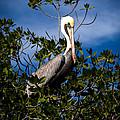 Mangrove Pelican by Karen Wiles