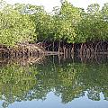 Mangrove Refelections by Tony Murtagh