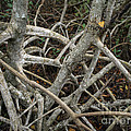 Mangrove Roots 1 by Tracy Knauer