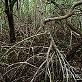 Mangrove Roots 2 by Tracy Knauer