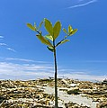 Mangrove Seedling On A Beach by Science Photo Library