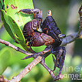 Mangrove Tree Crab by Barbara Bowen