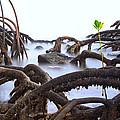 Mangrove Tree Roots Detail by Dirk Ercken