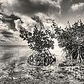 Mangroves by Bruce Bain