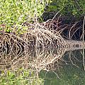 Mangroves In The Gambia by Tony Murtagh