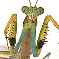 Mantid Displaying Gorongosa Mozambique by Piotr Naskrecki