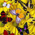 Many Butterflies On Mums by Garry Gay