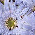 Many Ladybugs On White Daisy by Garry Gay