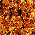 Many Mums by Richard Bryce and Family