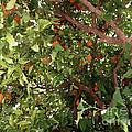 Many Orange On Tree by Jeelan Clark